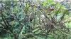 കാന്തല്ലൂരില് താരമായി മരത്തക്കാളി: പുറംനാടുകളില് ആവശ്യക്കാര് ഏറുന്നു...!!!