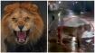 കനത്ത മഴയിൽ നഗരത്തിലേക്ക് ഇറങ്ങി സിംഹക്കൂട്ടം, ഏഴ് സിംഹങ്ങൾ റോഡിൽ, നടുക്കുന്ന ദൃശ്യം, വീഡിയോ വൈറൽ!