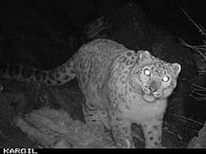 Rare snow leopards spotted in Kargil