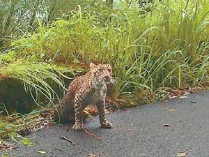 Injured Leopard Dies Thrissur