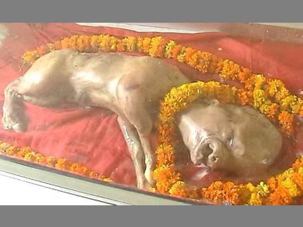 Cow Born Human Like Head Worshipped Indians