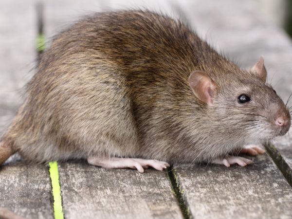 Dead Rat In Water In Hospital