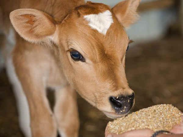 Chhattisgarh Panel Suggestion To Govt Purchase Cow Urine To Stop People From Abandoning Cows