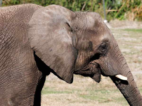 Elephant Trapped In Mud In Thuravoor Again In Trouble