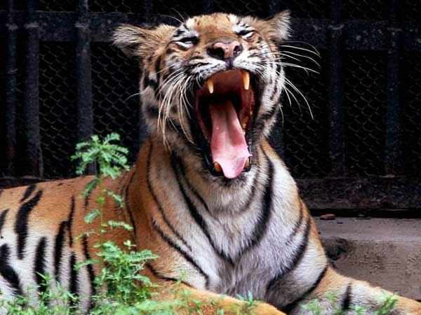 Tiger Attack Wayanad Bjp Calls Harthal Bathery