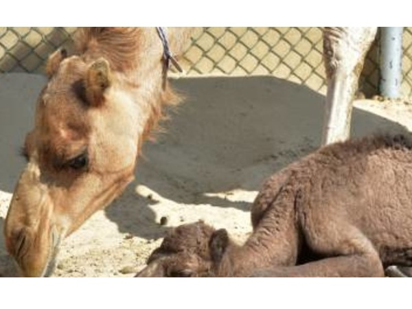 Bint Shaheen First Camel Of Its Kind