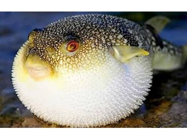 Japanese City On Alert Deadly Fugu Blowfish