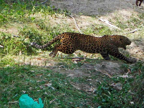 Leopard Found In Manimoola May Be Returned To The Forest Forest Department