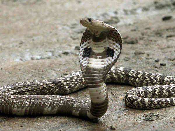 A Man Up Bit Off Snake S Head Chewed It