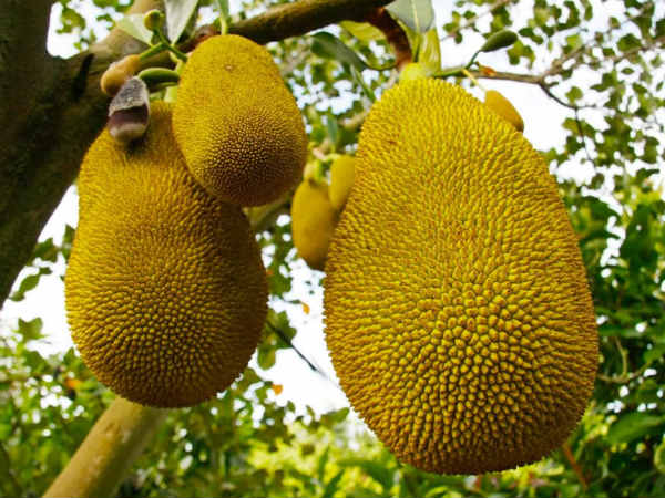 Government Kerala Is Set Declare The Jackfruit As The State Offical Fruit