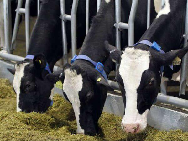 Gulf News Qatar Milk Ramadan Baladna 20000 Cows Import