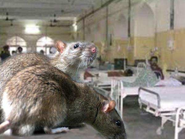 Rats Nibbled Comatose Patient S Eye Mumbai Hospital