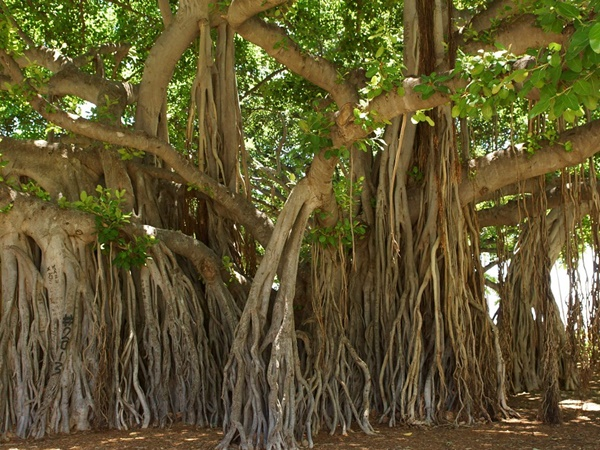 What Is The Importance Of The Banyan Tree