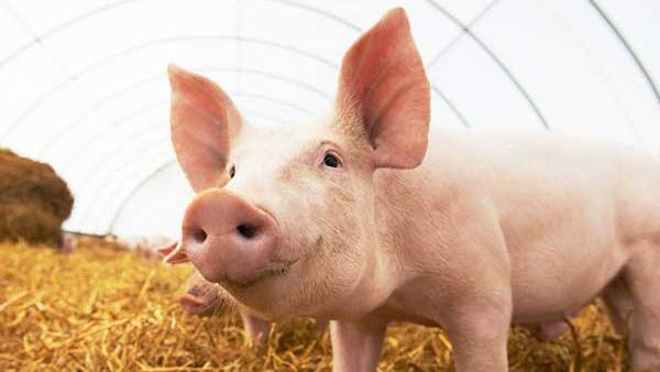 China Denies Study On G4 Strain Of Swine Flu Virus Says It Does Not Infect Humans Easily