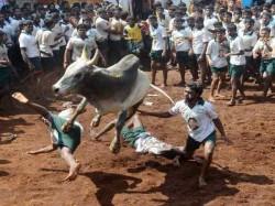 Jallikattu Likely Be Held Madurai On Sunday Say Sources