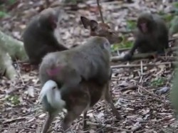 Monkey Attempts Deer Rare Example Of Interspecies Mating