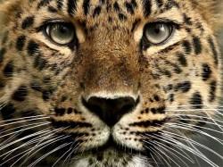 Kannur Leopard Attack