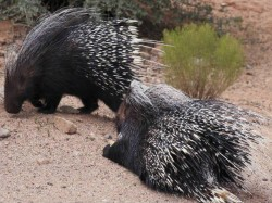 Stray Porcupine Creates Scare In Kannur After Leopard Man Animal Conflict