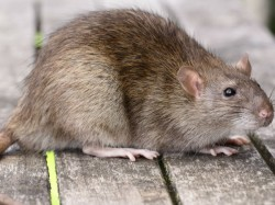 Joint Operation Cops Blame Rats For Missing Marijuana From Nagpur Railway Station
