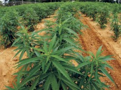 Excise Seized Marijuana From Wayanad