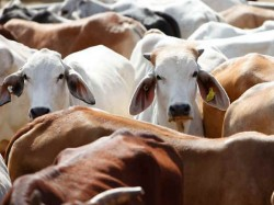 Madhya Pradesh Men Beat Up Youth In Ujjain For Allegedly Cutting A Cows Tail