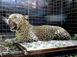 Leopard Shifted Trivandrum Zoo