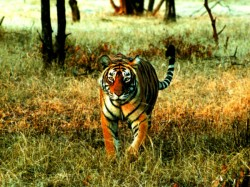 Tiger Attacked Goats In Malappuram
