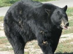Bear Breaks Into House In Colorado