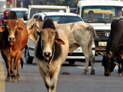 Cattle Being Taken To Kerala Seized In Coimbatore