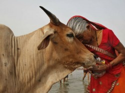 Cow Substitute To Mother And God Says Hyderabad Hc Judge