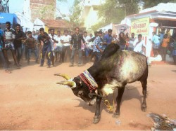 Bull Suicide Video Shot 2015 Goes Viral