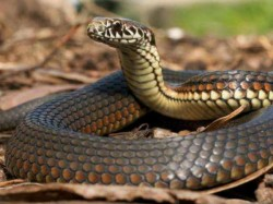 Snake Bihar Samastipur Bites Man Wife Die Togethe