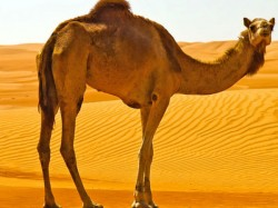 Camel Sacrifice Banned In Lucknow