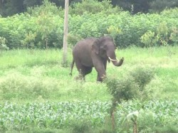 Forest Dept Failed To Tame Wild Elephants