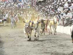 Bullock Cart Races Banned Maharashtra